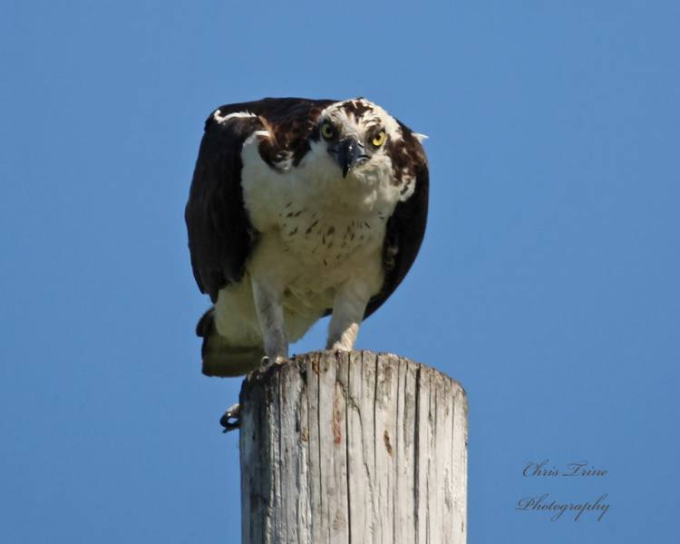 Osprey in Huron