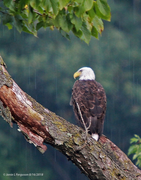 Bald eagle in Cameron Mills