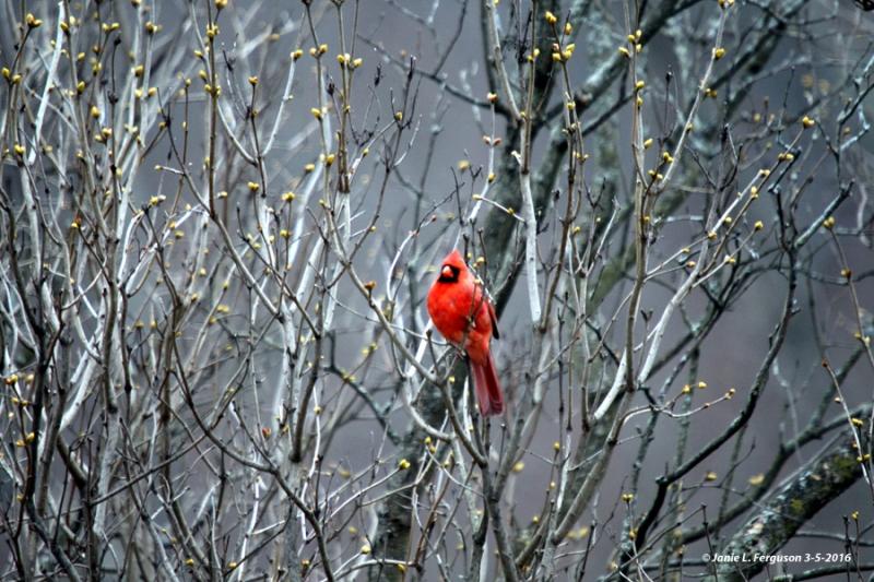 Cardinal and lilac buds