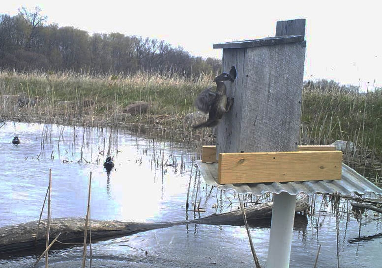 Female wood duck in nesting box