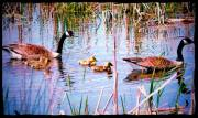 Canada Geese at Montezuma