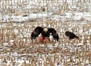 Bald eagles feeding