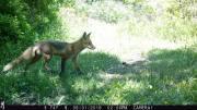 Trailcam Fox