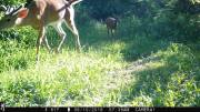 Trailcam - Two Bucks in Velvet