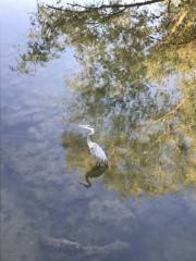 Blue Heron at lagoon Park