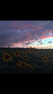 Sunflower sunset - Honeoye Falls