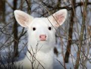 white deer closeup