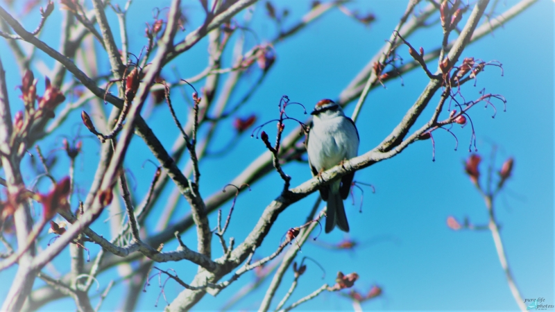 Sparrow during springtime