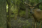 Trail Cam Buck