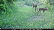 Trailcam Doe and Fawn