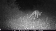 Trailcam Fox at night