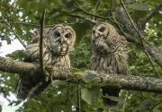Barred Owls in Candor