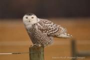 Seneca Falls Snowy Owl