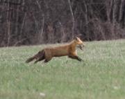 Fox in Port Byron