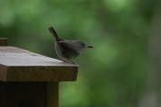 house-wren-with-treat-for-little-ones-43fbcf2210742d326acb4e4e7a215f35c0b2ef89