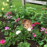 Fawn in garden bed
