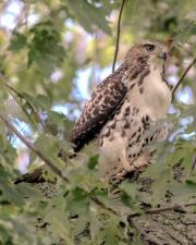 Hawk at Sonnenberg