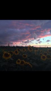 Sunflower sunset - Honeoye Falls