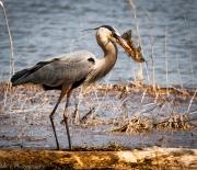 Conesus Lake Blue Heron