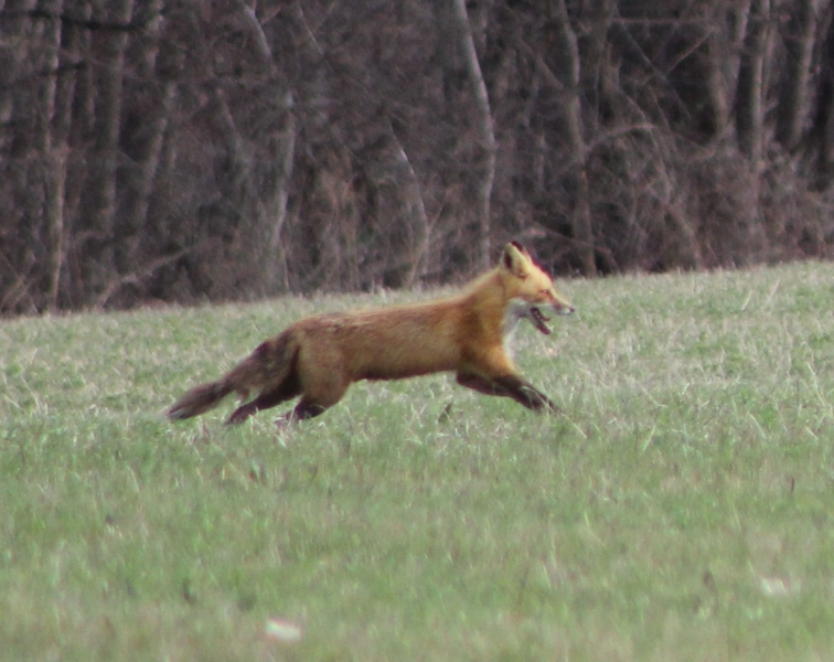 Fox in Port Byron