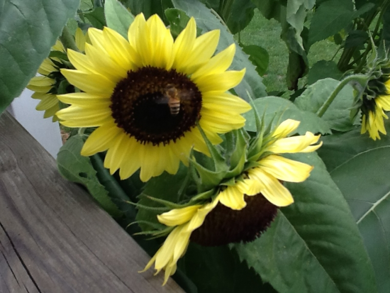 Sunflowers and bee