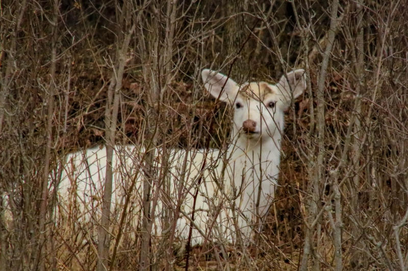 Seneca White Deer Tour