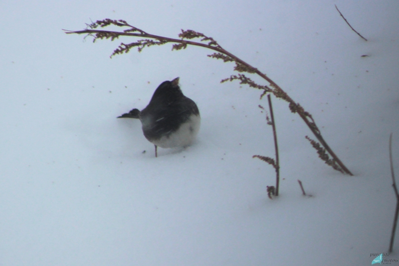 Junco braving arctic blast