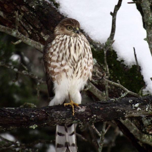Hawk in Old Pear Tree