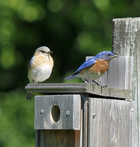 mr and mrs bluebird2