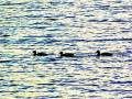Lucky ducks in the fall on Keuka Lake