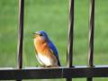 Bluebird coaxing his chicks to leave the nesting box