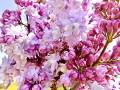 Rose lilac