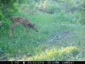 Trailcam - Fawns