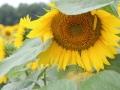 Sunflower Maze