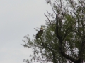Bald Eagle at Seneca Lake