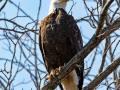 Bald eagle, along Rt.#89, MNWR,  photo by Jack Wagener