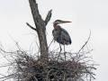 fe2863eBlue Heron on nest, Sterling, NY, Jack Wagenerc-b6c2-0b980339c1cd-e91b61838f256ab7267c1f8b06ff8f9437bc897b