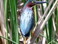 Green Heron at Sonnenberg Gardens