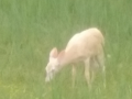 Cream-colored whitetail