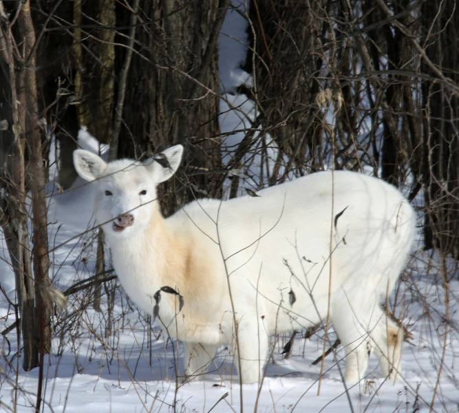 white deer in the snow