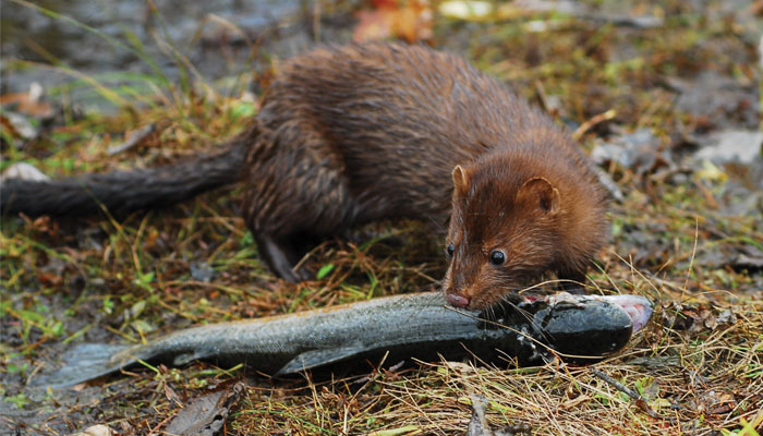 Mink Encounters Life In The Finger Lakes