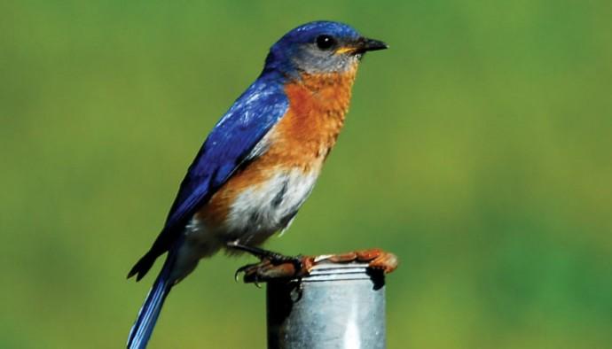 Blue happiness birds