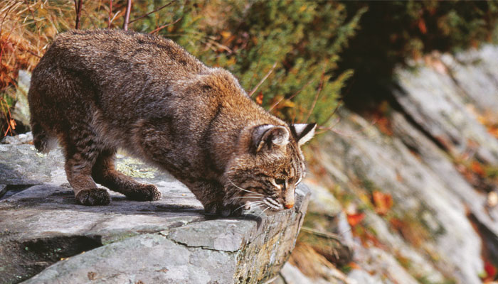 Returning Species The Fisher And Bobcat Life In The Finger Lakes