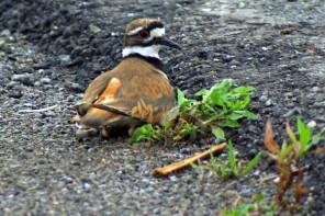 Killdeer Nesting