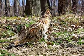 The Ruffed Grouse