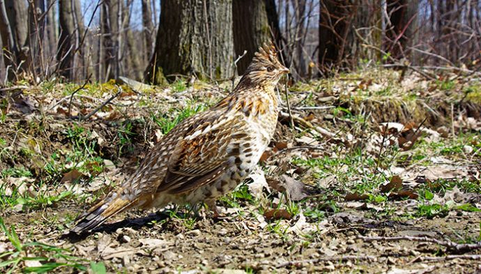 the ruffed grouse life in the finger lakes
