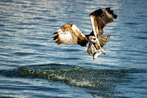 The Osprey is a Wildlife Success Story
