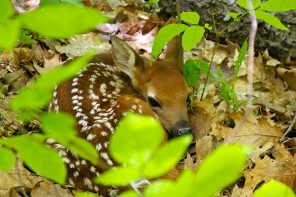 Observe Whitetail Fawns From a Distance