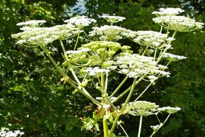 The Menacing Giant Hogweed