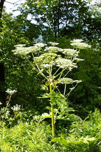 giant-hogweed-small